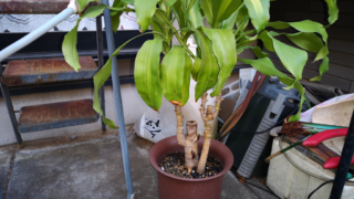 ドラセナ - 幸福の木(親株)