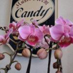 コチョウラン「キャンディー」