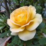 ハニーブーケの花:別アングル(2021年5月)